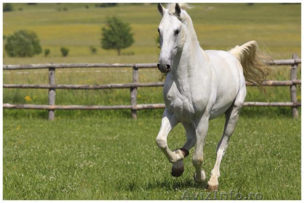 Vand cai mascul din rasa lipitan, preturi speciale: vand in